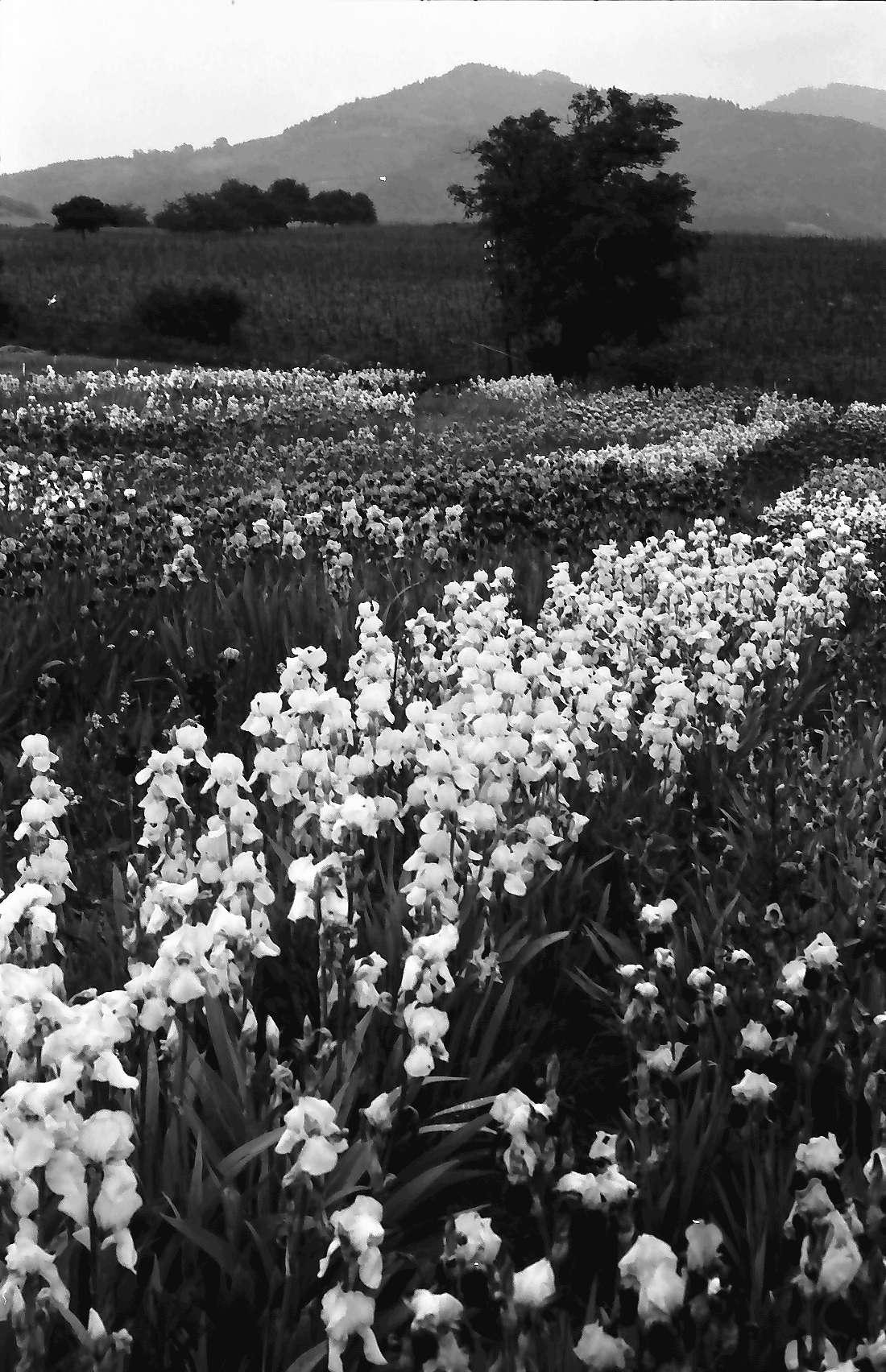 Laufen: Blühendes Irisfeld der Zeppelinischen Gärtnerei, Bild 2
