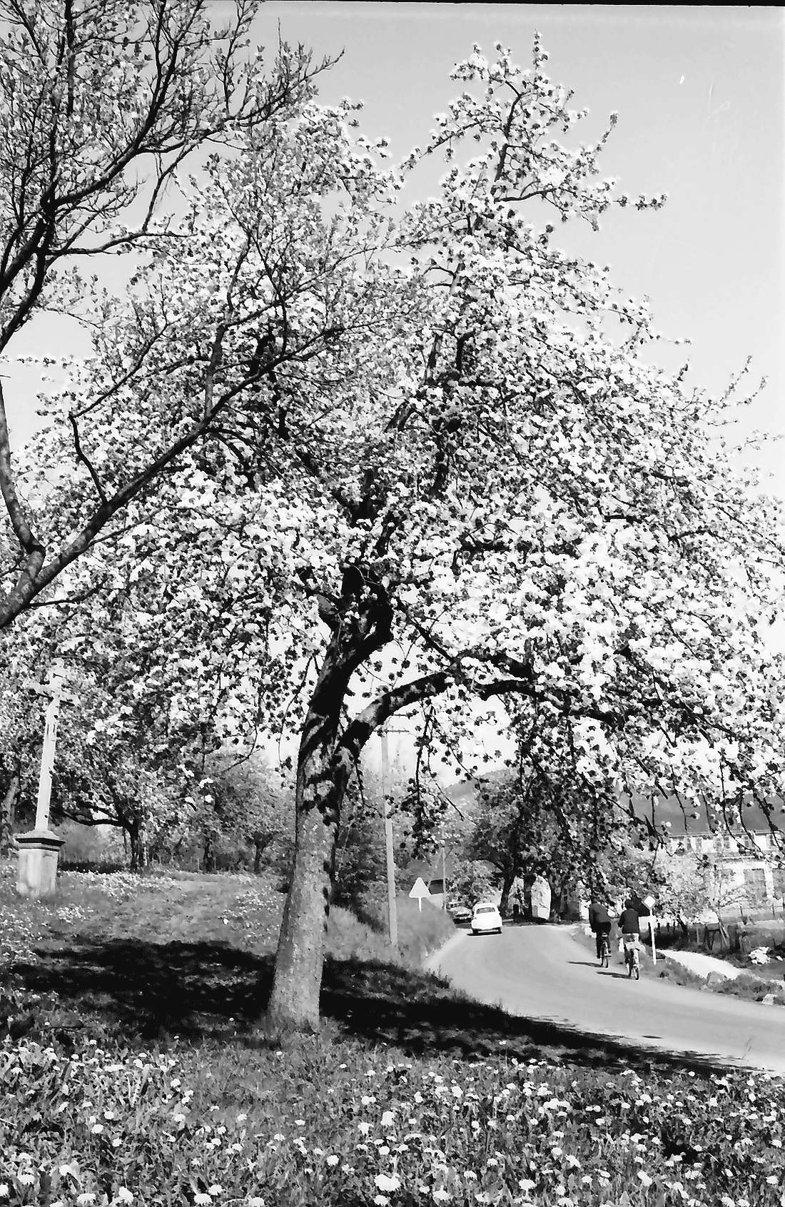 Bollschweil: Blütenbäume an der Straße, Bild 2
