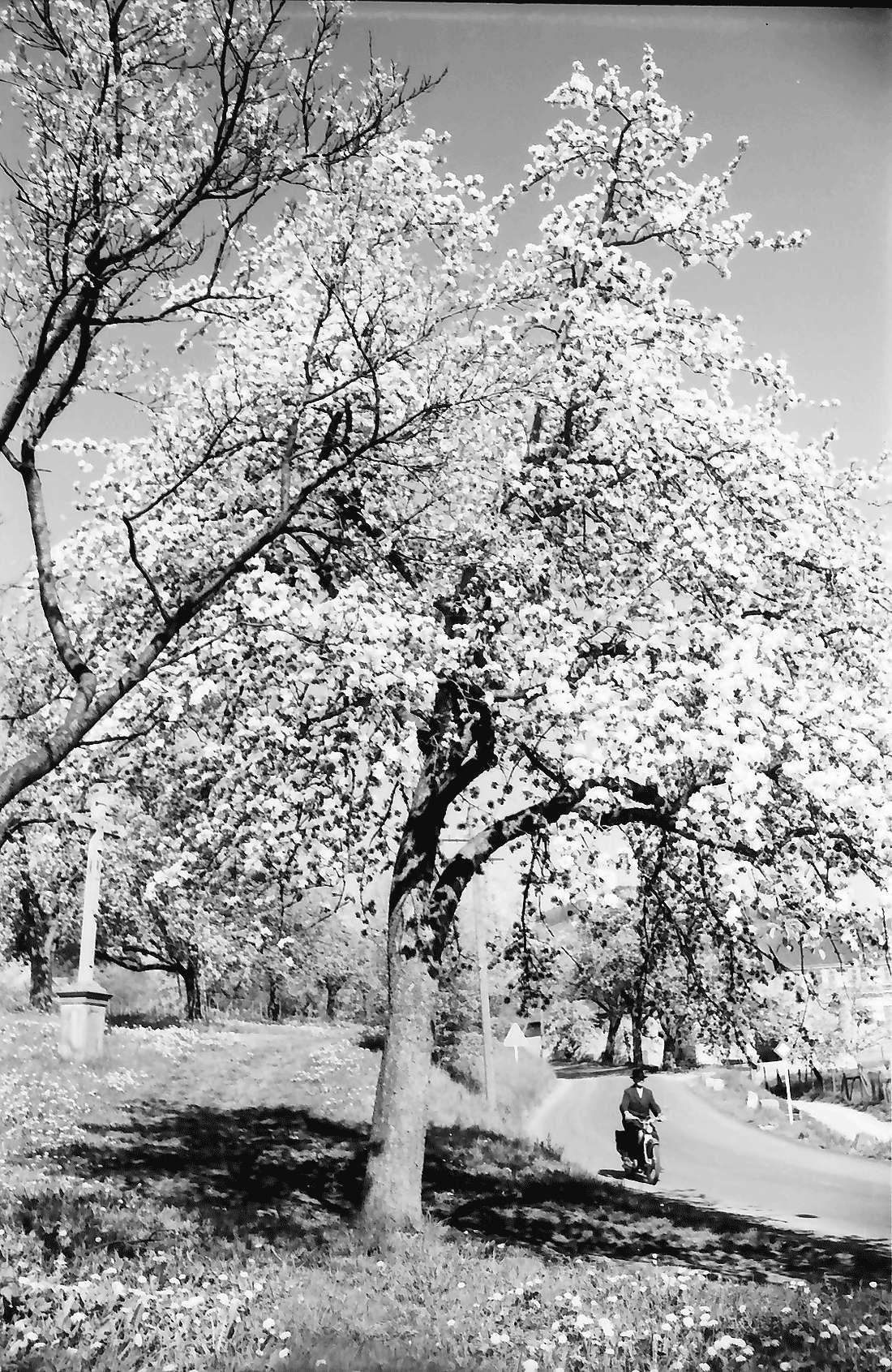 Bollschweil: Blütenbäume an der Straße, Bild 1