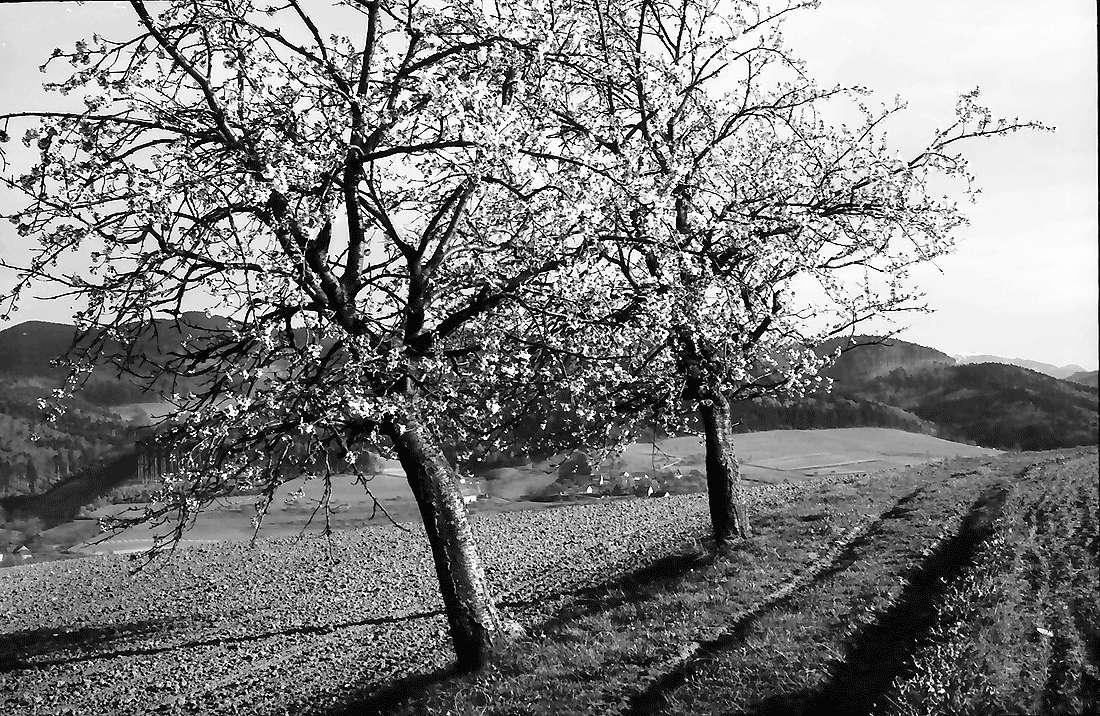 Au: Zwei Kirschblütenbäume am Rain, Bild 1