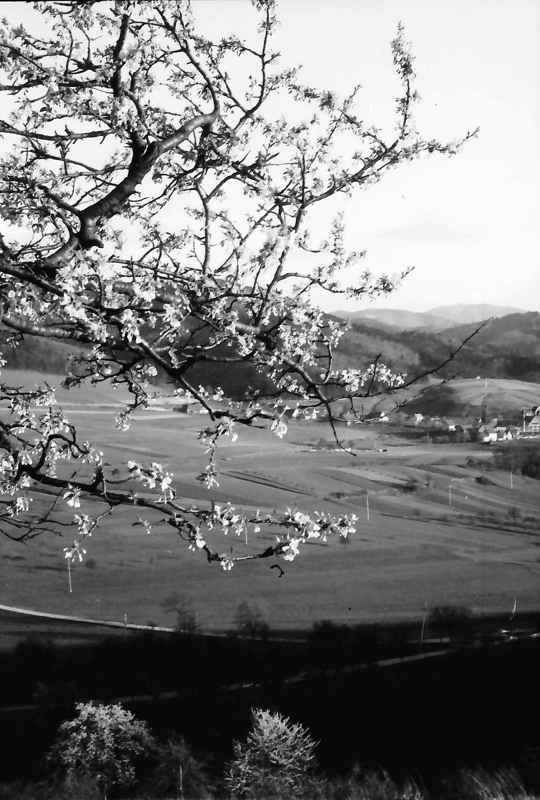 Wittnau: Blick gegen Sölden vom Hang des Schönbergs mit Blütenzweigen, Bild 2