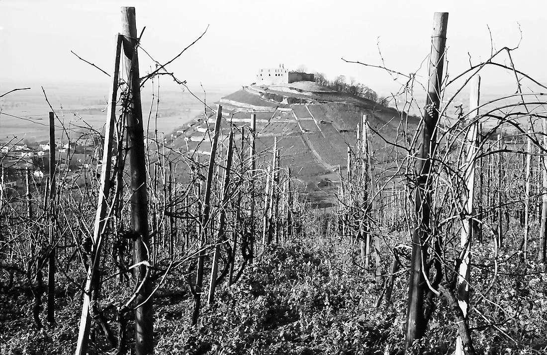 Staufen: Staufener Burg; Vordergrund Weinstöcke, Bild 2