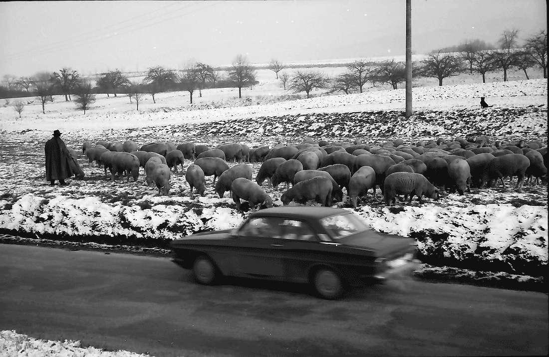 Staufen: Schafherde im beschneiten Feld bei Staufen; Vordergrund Auto, Bild 1