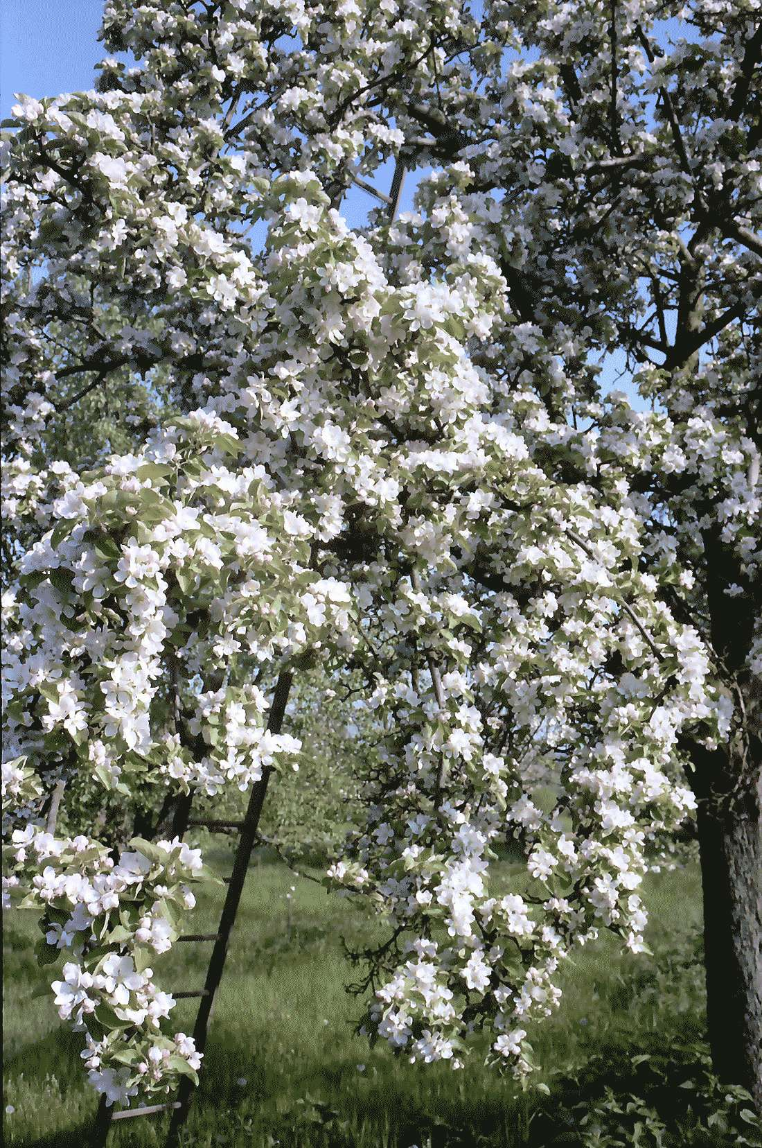 Zunzingen: Badische Weinstraße in Blüten, Bild 1