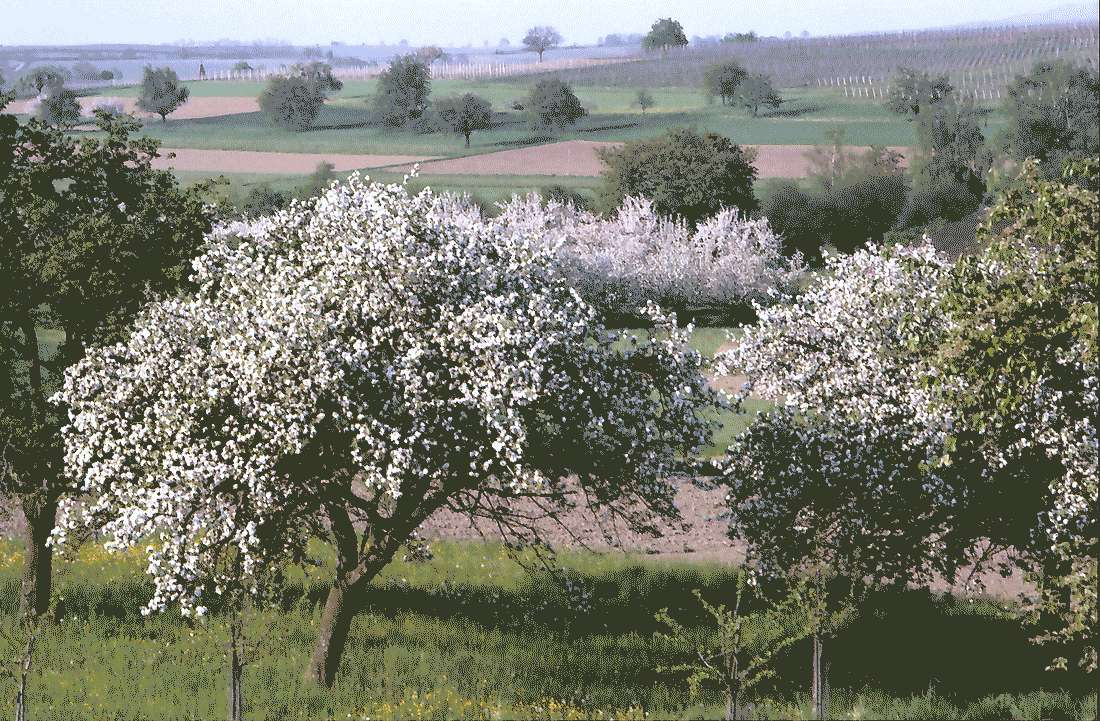 Zunzingen: Blütenlandschaft, Bild 2