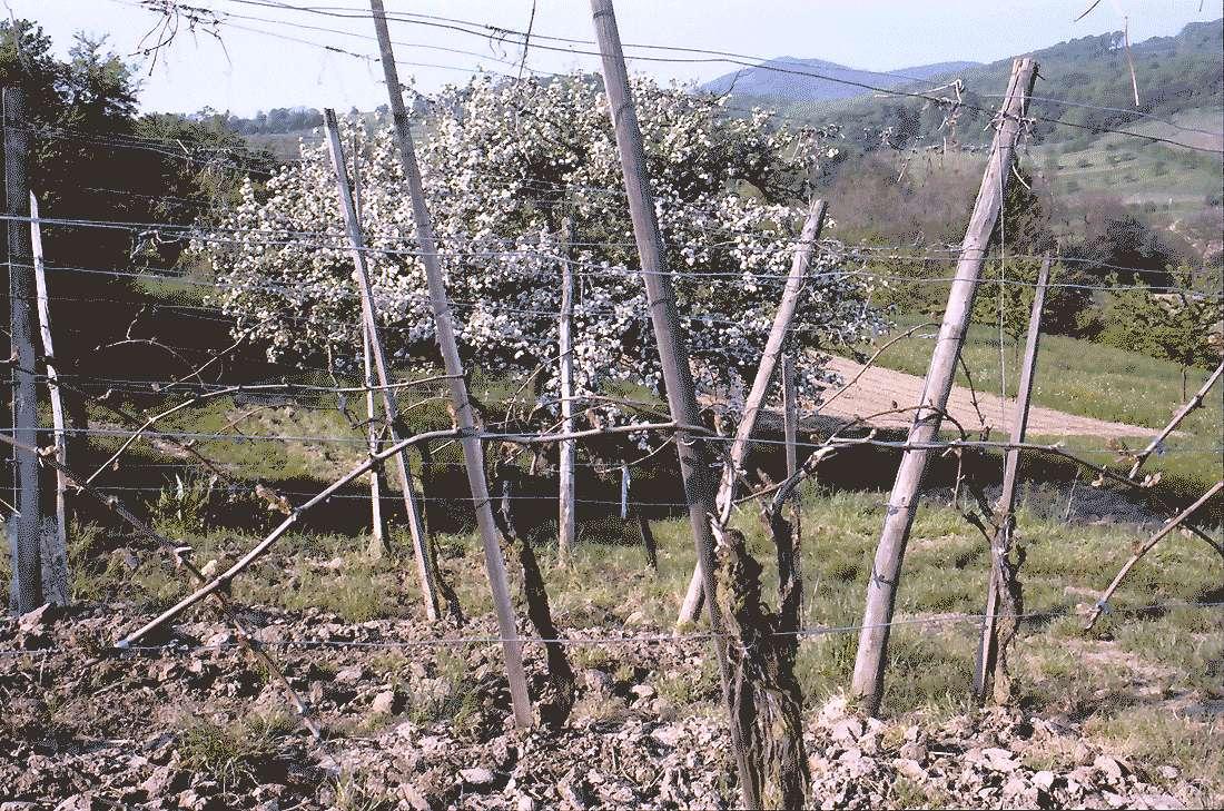 Zunzingen: Junge Rebstöcke und Blütenbäume, Bild 2