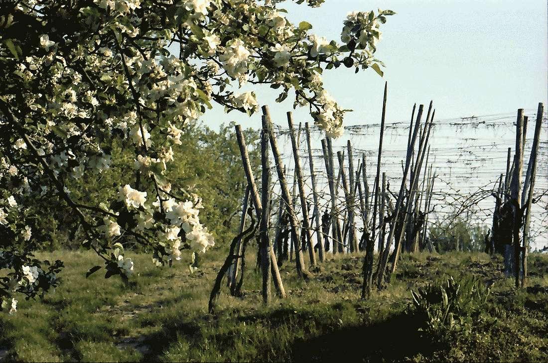 Zunzingen: Junge Rebstöcke und Blütenbäume, Bild 1