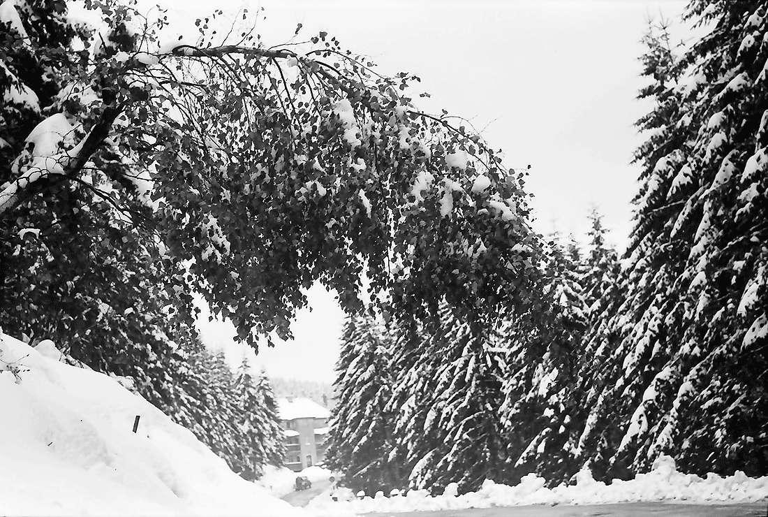 Hornisgrinde: Verschneite Birke beugt sich über die Straße, Bild 1
