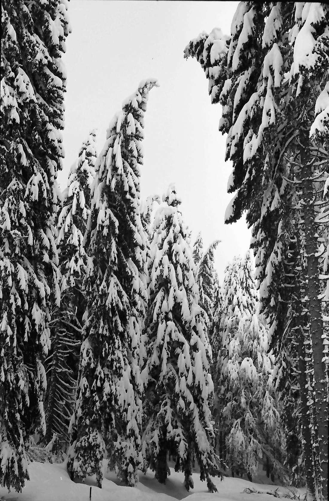 St. Blasien - Todtmoos: Verschneiter Tannenwald, Bild 1
