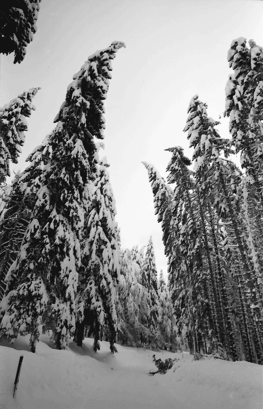 St. Blasien - Todtmoos: Verschneiter Tannenwald, Bild 2