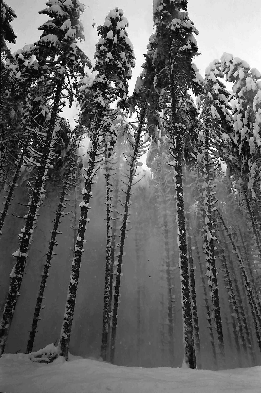 St. Blasien - Todtmoos: Schneestaub fällt von den Tannen, Bild 2