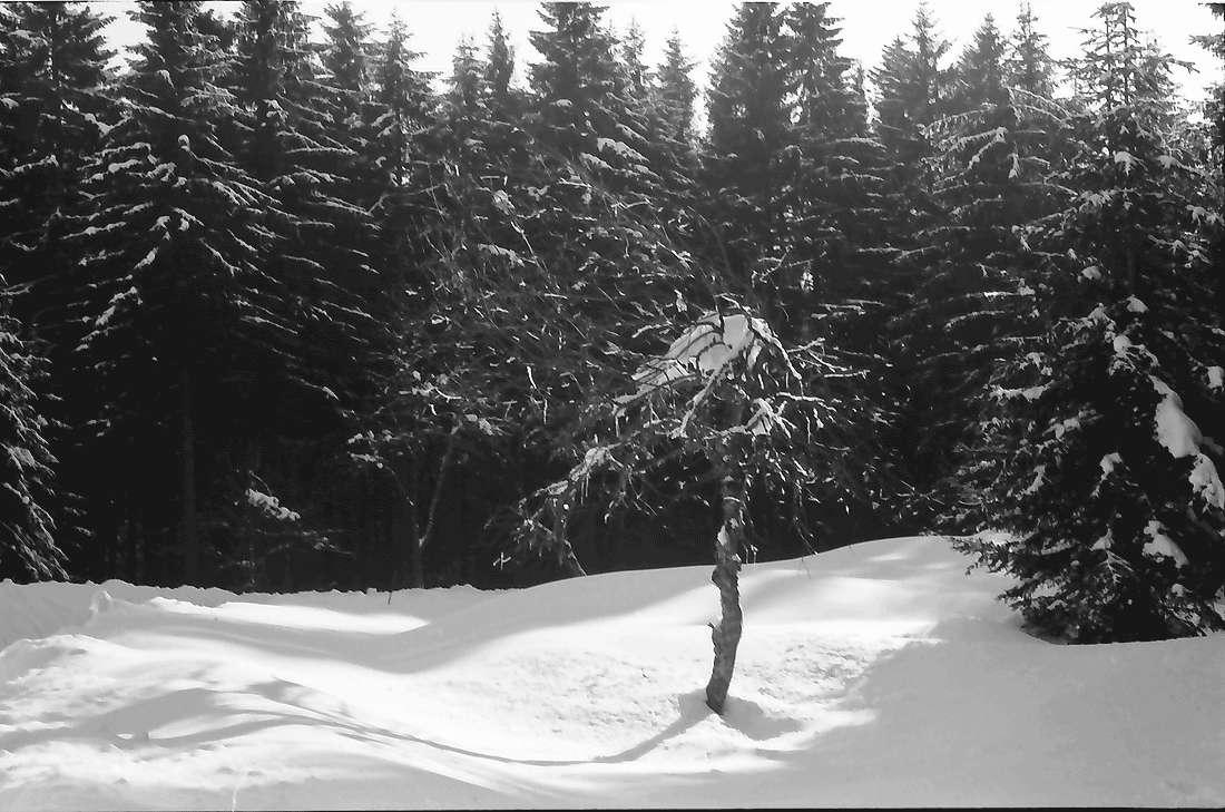 Saig: Vereister Baum am Wald, Bild 1