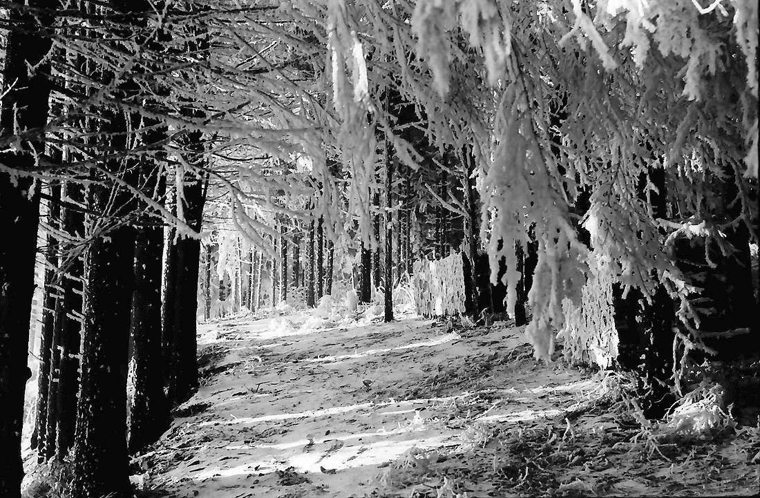 Saig: Wald im Raureif, Bild 1