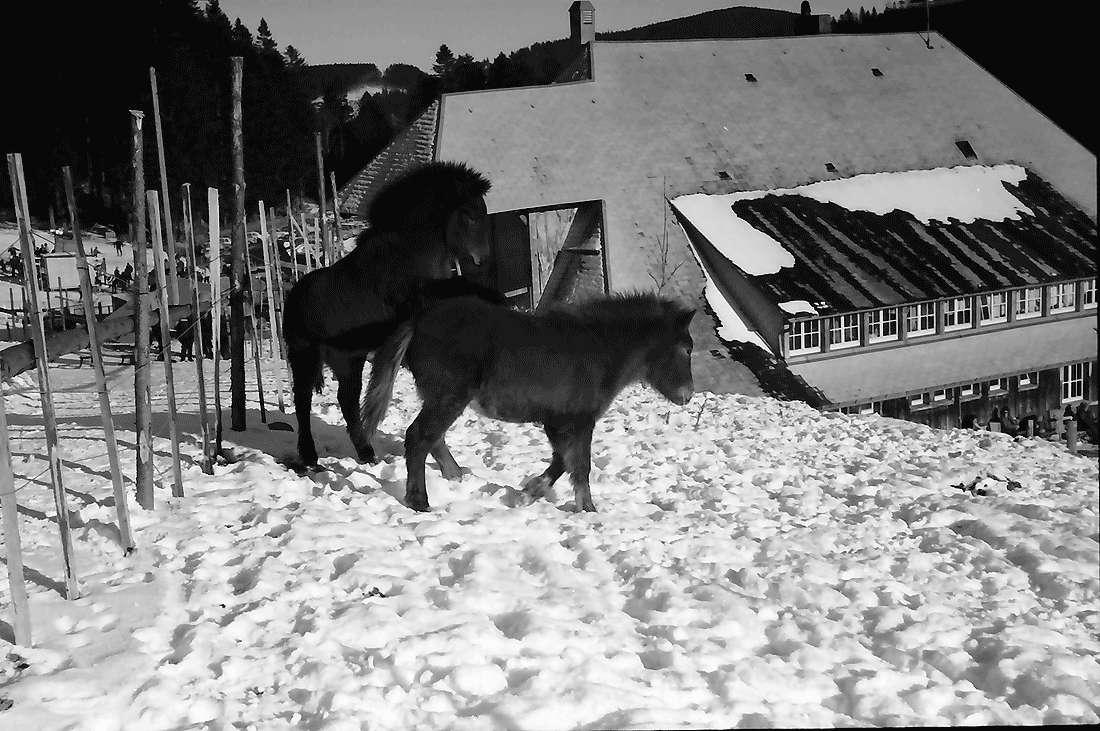 Oberried: Stollenbacher Hütte; Pony-Zwinger an der Stollenbacher Hütte, Bild 2