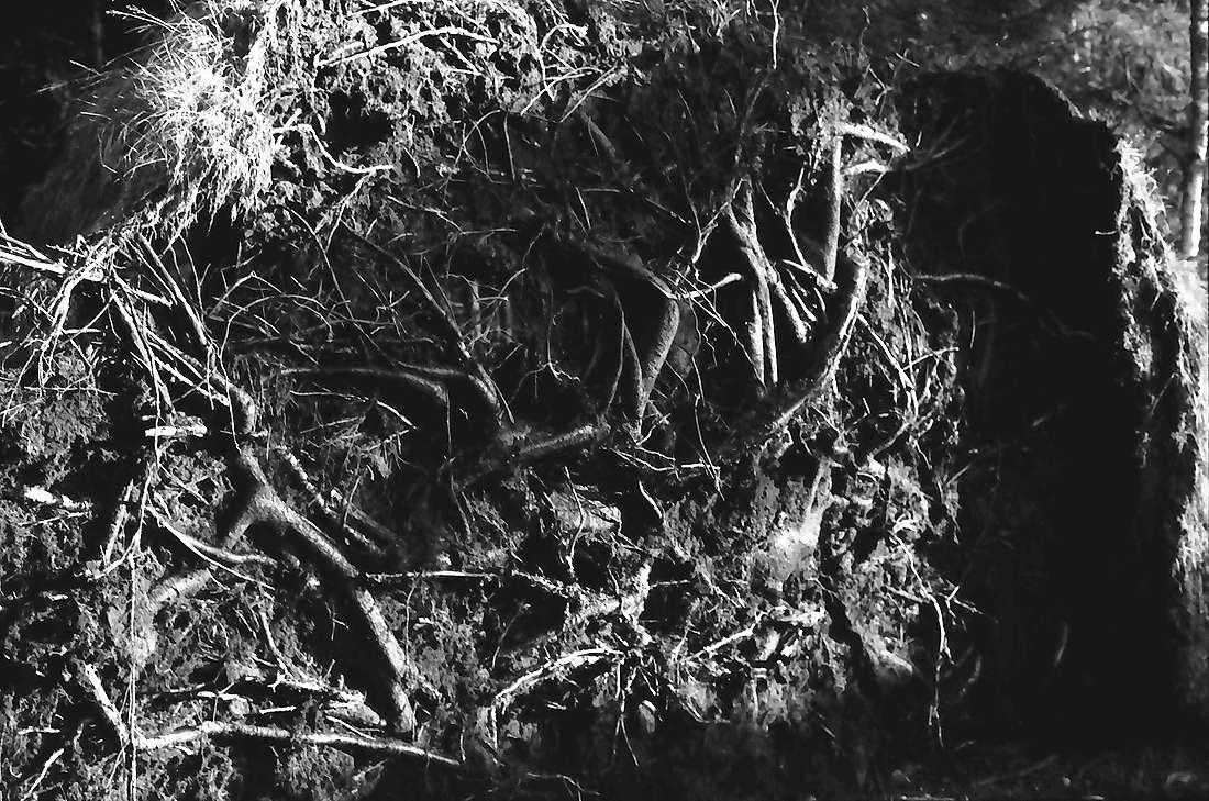 Hinterzarten: Aufgerissene Wurzel am Moorweg, Bild 1